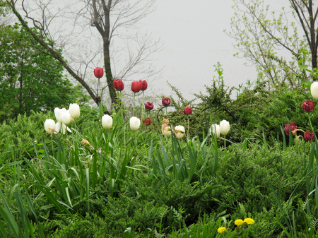 Tulips In Ft. Tryon Park, New York City