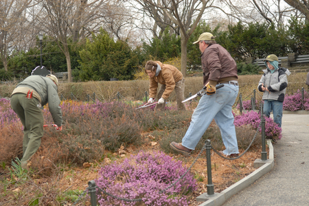 Shearing the Heather in Ft. Tryon Park, New York City
