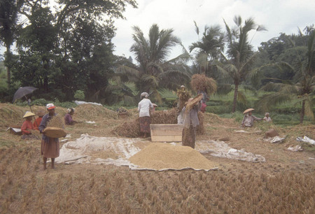 Indonesia Harvesting Rice.