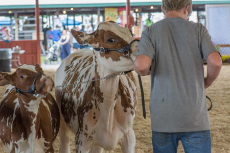 Judging Cattle, Dutchess County Fair