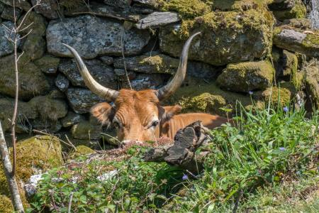 Wild cattle, Northern Portubal